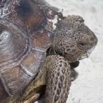 Beach Tortoise