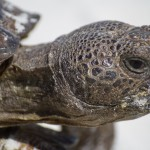 Beach Tortoise Close Up